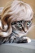 Les animaux avec des perruques Perruque_chat